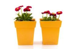 Bellis rose dans des bacs de fleur jaunes Photographie stock