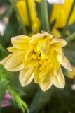 Bellisperennis royalty-vrije stock fotografie