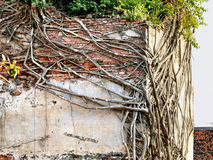 Bellman and tree roots. Grow beautifully on a concrete wall Stock Photos