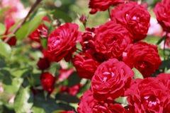 Bello è aumentato in un giardino Fotografia Stock