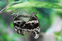 Bello accoppiamento della farfalla immagine stock