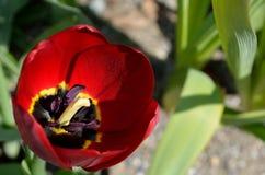 Bello aflatuense vibrante rosso dell'allium, anche conosciuto come il fiore porpora di sensazione di estate Fotografia Stock Libera da Diritti