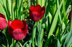 Bello aflatuense vibrante rosso dell'allium, anche conosciuto come il fiore porpora di sensazione di estate Fotografie Stock Libere da Diritti
