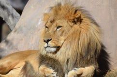 Bello Africano dorato Lion Relaxing nel sole Immagini Stock Libere da Diritti