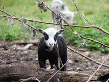 Bello agnello con il corpo nero, la testa bianca e gli occhi circostanti neri fotografia stock