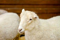 Bello agnello dell'animale domestico sull'azienda agricola Fotografia Stock Libera da Diritti