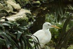 Bello airone bianco maggiore Immagine Stock