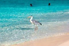 Bello airone bianco selvaggio sull'hotel di stazione balneare in Maldive contro lo sfondo di chiare acqua blu e gente prescelto immagine stock libera da diritti