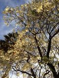 Bello albero bianco Fotografia Stock Libera da Diritti