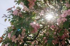 Bello albero con i fiori rosa Fotografie Stock