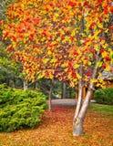 Bello albero con le bacche nella caduta Fotografie Stock