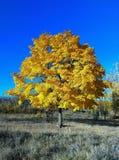 Bello albero con le foglie di giallo in autunno fotografie stock