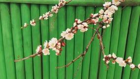 Bello albero da frutto di fioritura contro lo sfondo di un recinto verde, molla della mela video d archivio