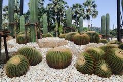 Bello albero del cactus nei giardini all'aperto ed in parchi fotografia stock