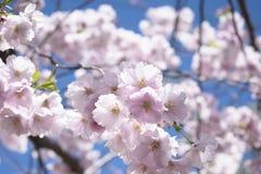 Bello albero del fiore di sakura su cielo blu Fotografie Stock
