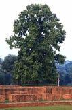 Bello albero del sal, sal dell'India, Shorea Roxb robusta al tempio di Parinirvana in Kushinagar, l'India Fotografie Stock Libere da Diritti