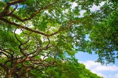 Bello albero della mimosa Fotografia Stock Libera da Diritti