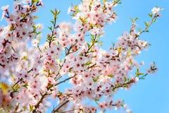 Bello albero di albicocca di fioritura Fotografia Stock