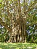 Bello albero di banyan della foto naturale dello Sri Lanka fotografia stock