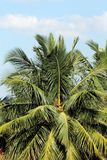 Bello albero di noce di cocco Fotografia Stock Libera da Diritti