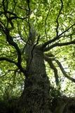 Bello albero di quercia Immagine Stock