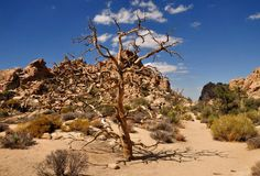 Bello albero morto che sta in Joshua Tree Nation Immagine Stock