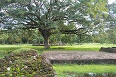 Bello albero nel parco storico di Sukhothai Fotografie Stock Libere da Diritti