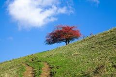 Bello albero rosso Fotografie Stock