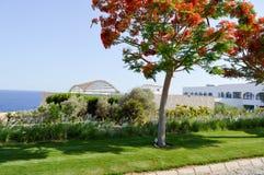 Bello albero rosso del re con i fiori grandi, rosso luminoso del Delonix, con i pacchi degli stami lunghi sui precedenti di una h fotografie stock