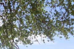 Bello albero sul fondo del cielo blu Immagini Stock Libere da Diritti