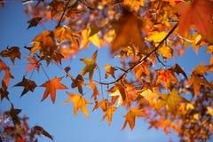 Bello albero variopinto di Autumn Maple Immagini Stock