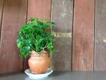 Bello albero in vaso sullo spazio di legno della copia e del fondo Immagini Stock