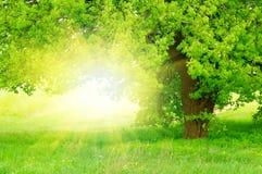 Bello albero verde con il sole Fotografia Stock