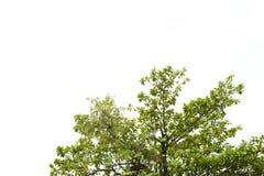Bello albero verde su fondo bianco nell'alta definizione Fotografie Stock