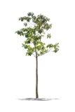 Bello albero verde su un fondo bianco nell'alta definizione Fotografia Stock Libera da Diritti