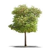 Bello albero verde su un fondo bianco nell'alta definizione Fotografie Stock Libere da Diritti