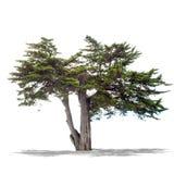 Bello albero verde su un fondo bianco nell'alta definizione Immagine Stock Libera da Diritti