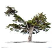 Bello albero verde su un fondo bianco nell'alta definizione Immagini Stock Libere da Diritti