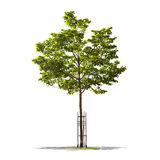 Bello albero verde su un fondo bianco nell'alta definizione Immagine Stock