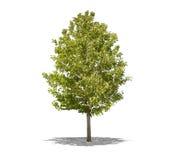 Bello albero verde su un fondo bianco nell'alta definizione Fotografia Stock
