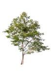 Bello albero verde su un fondo bianco sull'alta definizione Fotografie Stock Libere da Diritti