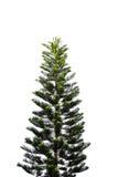 Bello albero verde su un fondo bianco sull'alta definizione Fotografia Stock