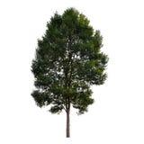 Bello albero verde su un fondo bianco sull'alta definizione Immagini Stock