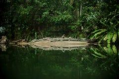 Bello alligatore sull'isola in mezzo al lago Fotografie Stock