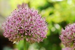 Bello allium porpora di fioritura Fotografia Stock