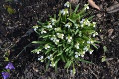 Bello alpinus bianco di snowdropsGalanthus Immagine Stock