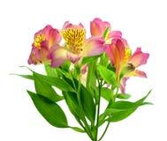 Bello alstroemeria (Alstroemeria) Fotografie Stock Libere da Diritti