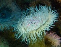 Bello anemone di mare Fotografie Stock Libere da Diritti