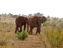 Bello animale del Kenya - il grandi 5 - l'elefante Immagini Stock