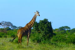Bello animale del Kenya - la giraffa Immagini Stock